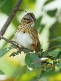 Lincoln's Sparrow  Melospiza Lincolnii  North America