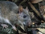 Key Largo Wood Rat or Packrat (Neotoma Floridana Smalli)  an Endangered Species  Florida  USA