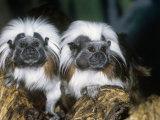 Cotton-Top Tamarins (Saguinus Oedipus)  a New World Rainforest Primate  Columbia  South America