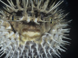 Spiny Pufferfish or Balloon Fish Inflated  Diodon Holocanthus