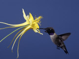 Black-Chinned Hummingbird (Archilochus Alexandri)  Madera Canyon  Arizona