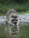 Raccoon Washing its Hands and Food  Procyon Lotor  North America