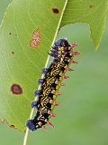 Saturnid Moth Caterpillar (Antherina Suraka) Feeding on a Leaf