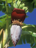 Banana Tree Flowering with a Small Group of Developing Fruits (Musa)  Florida  USA