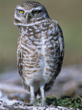 Burrowing Owl  Athene Cunicularia  Bobbing its Head for Better Binocular Vision  North America