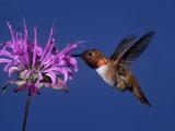Male Rufous Hummingbird (Selasphorus Rufus) at Wild Bergamot (Monard Fistulosa)