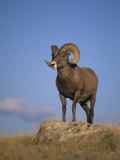 Bighorn Sheep Ram  Ovis Canadensis  Yellowstone National Park  Montana  USA
