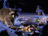 Raccoons (Procyon Lotor) Raiding an Urban Garbage Can in Portland  Oregon