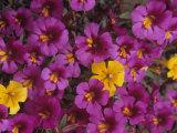 Fremont's Monkey Flowers  Mimulus Fremontii  California  USA