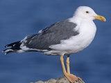 Yellow-Footed Gull (Larus Livens) Salton Sea  California  USA