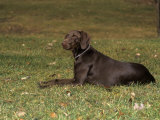 German Short-Haired Pointer Variety of Domestic Dog