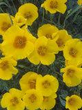 Mexican Gold Poppy  Eschscholzia Mexicana  Picacho Peak State Park  Arizona  USA