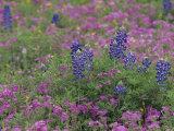 Texas Bluebonnet Flowers Among Phlox  Texas  USA