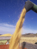 Loading Harvested Corn into a Truck (Zea Mays)