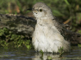 Northern Mockingbird Bathing in Water  Mimus Polyglottos  North America
