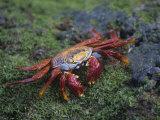 Sally Lightfoot Crab  Grapsus Grapsus  Galapagos Islands  Ecuador