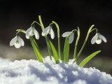 Snowdrop Flowers Blooming in the Snow  Galanthus Nivalis