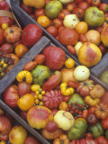 Harvest of Genetically Diverse Heirloom Tomato Varieties