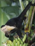 White-Faced Capuchin Monkey Eating Bananas  Cebus Capucinus  Costa Rica