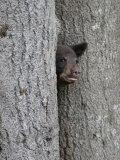Black Bear Cub Peeking from Behind Tree