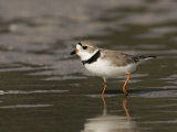 Piping Plover  Charadrius Melodus  an Endangered Species  North America
