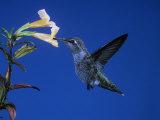 Anna's Hummingbird  Calypte Anna  North America