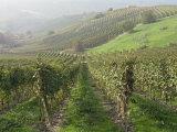 Vineyards Near Serralunga D'Alba  Piedmont  Italy  Europe