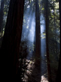 Redwood Forest  Ventana  Big Sur  California  United States of America  North America