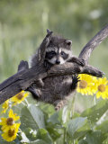 Captive Baby Raccoon, Animals of Montana, Bozeman, Montana, USA Papier Photo par James Hager
