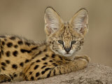 Serval Cub on Termite Mound  Masai Mara National Reserve  Kenya  East Africa  Africa