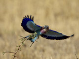 Lilac-Breasted Roller Landing with a Grasshopper in its Beak  Masai Mara National Reserve  Kenya