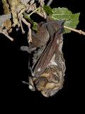 Hoary Bat Perched  Near Portal  Arizona  USA