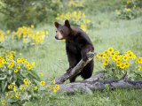 Young Black Bear Among Arrowleaf Balsam Root  Animals of Montana  Bozeman  Montana  USA