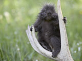 Baby Porcupine Sitting on a Weathered Elk Antler  in Captivity  Bozeman  Montana  USA
