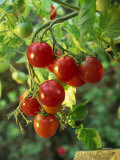 Close-Up of a Truss of Red and Ripening Vine Tomatoes on a Tomato Plant