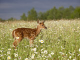 Captive Whitetail Deer Fawn Among Oxeye Daisies  Sandstone  Minnesota  USA
