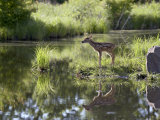 Whitetail Deer Fawn with Reflection  in Captivity  Sandstone  Minnesota  USA