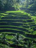 Rice Terraces  Bali  Indonesia  Southeast Asia
