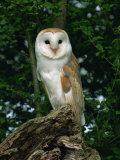 Barn Owl  Warwickshire  England  United Kingdom  Europe