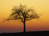 Bare Tree Silhouetted at Dawn  Dordogne  France  Europe