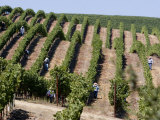 Vineyards in Napa Valley  California  United States of America  North America