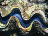 Close-Up of a Giant Clam's Mouth  Red Sea  Middle East