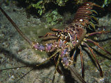 Close-Up of a Spiny Lobster  Caribbean Sea  Central America