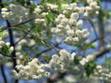 Close-Up of White Spring Blossom on a Tree in London  England  United Kingdom  Europe
