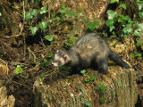 Polecat Ferret  Warwickshire  England  United Kingdom  Europe