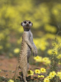 Meerkat  Among Devil's Thorn Flowers  Kgalagadi Transfrontier Park  Northern Cape  South Africa