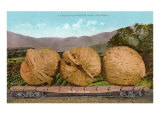 Giant Walnuts on Flatbed