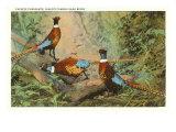 Chinese Pheasants  Idaho