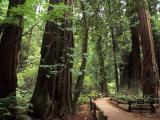 Old Redwood Trees  Muir Woods  San Francisco  California  USA