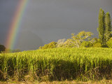 Sugar cane field  St-Philippe  South Reunion  Reunion Island  France